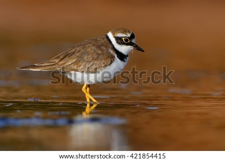 Little Ringed Plover - Charadrius dubius in the lake of fresh water