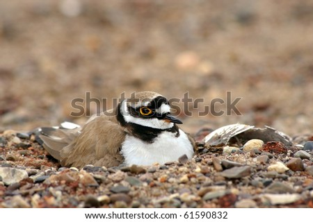 Little ringed plover (Charadrius dubius) on a gravel nest. - stock photo