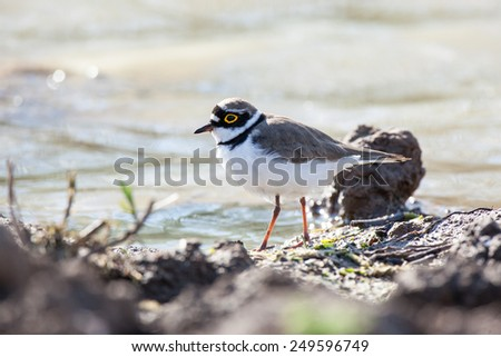 Little Ringed Plover (Charadrius dubius). Russia. Russia, the Ryazan region (Ryazanskaya oblast), the Pronsky District. - stock photo