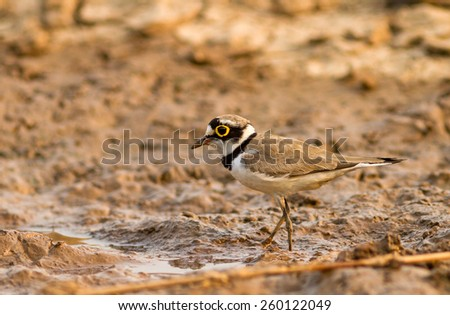 Little Ringed Plover (Charadrius dubius Scopoli ) on river - stock photo