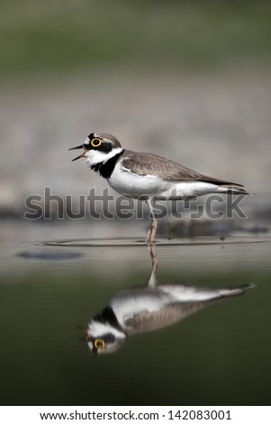 Little-ringed plover, Charadrius dubius, single bird standing in water, Bulgaria, May 2010