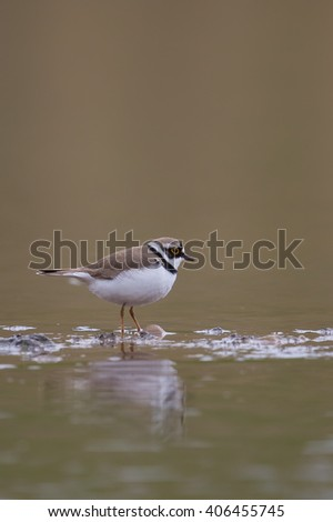 Little ringed Plover (Charadrius dubius) standing in shallow water against a blurred natural background, East Yorkshire, UK - stock photo