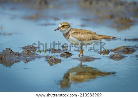 Little Ringed Plover (Charadrius dubius) with her shadow in nature - stock photo
