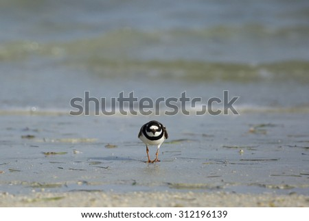 Little ringed plover from front - stock photo