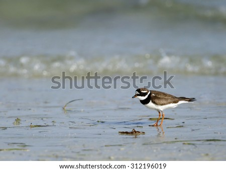 Little ringed plover on the coast - stock photo