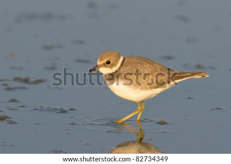 Little Ringed Plover on the shore looking for food / Charadrius dubius - stock photo