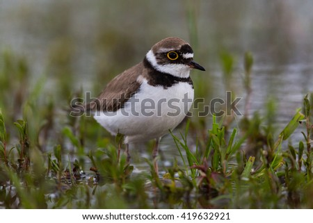 little ringed plover walking in wetland - stock photo