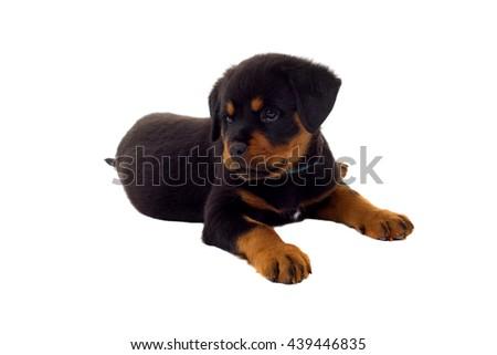 Little Rottweiler puppy dog, isolated on white background - stock photo