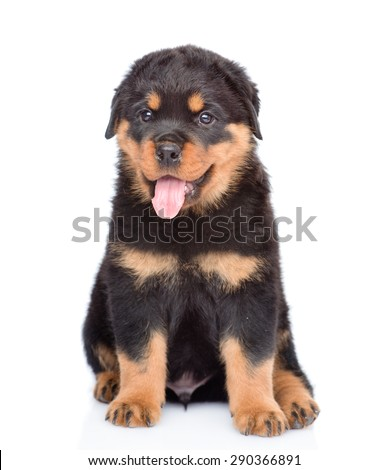 Little rottweiler puppy sitting in front view. Isolated on white background