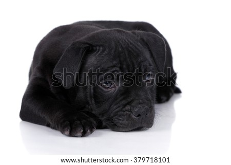Little sad black puppy lying on a white background - stock photo