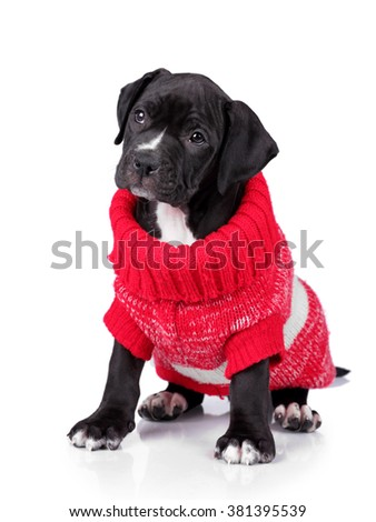 Little sad puppy in red jumper on a white background - stock photo