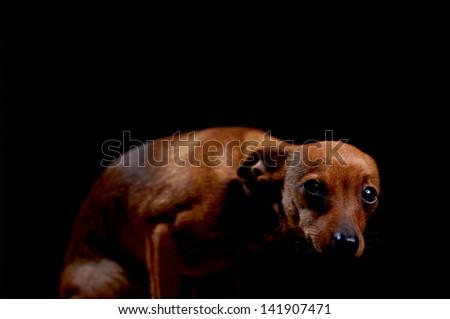 Little scared terrier on black, studio shot - stock photo