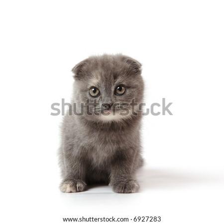 little scottish-fold kitten of blue-cream color - stock photo