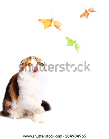 little scottish fold kitten playing with the butterfly - stock photo