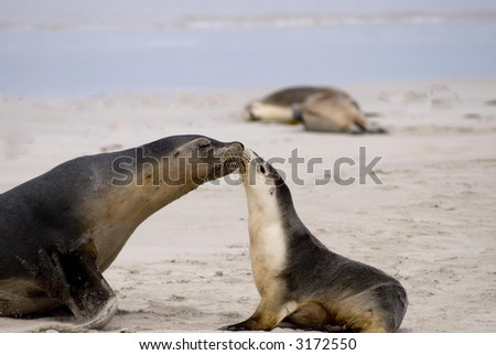 Little sea lion with its mother on the beach of Kangaroo-Island/South Australia - stock photo