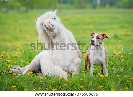 Little shetland pony and american staffordshire terrier dog on the field with yellow flowers - stock photo