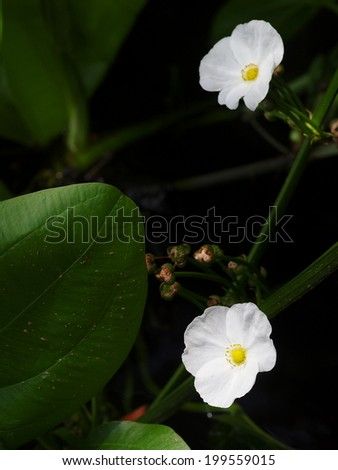 little shiny white flowers of decorative wetland plant: Arrow Head Ame Son/ Sagittaria lancifolia L., under natural sunlight in dark environment and water surface background - stock photo
