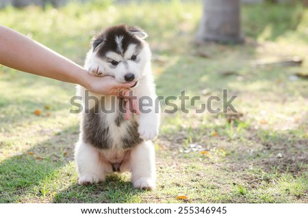 Little Siberian husky puppy biting the hand of its owner with copy space on right - stock photo