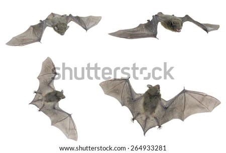 Little small bat flying,isolated on white - stock photo
