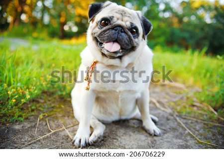 Little smiling pug sitting on a sidewalk in a summer park. - stock photo