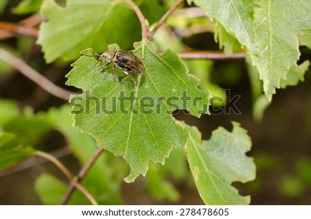 little snout beetle, birch leaf - stock photo