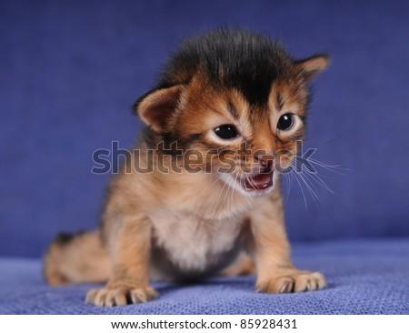 Little somali kitten portrait on blue sofa with open mouth - stock photo