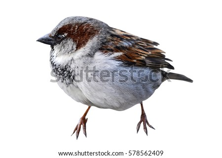 Little sparrow isolated on a white background