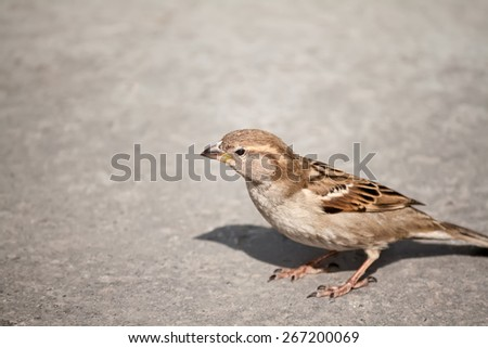Little sparrow on grey background - stock photo
