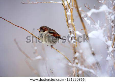 little sparrow sitting on a branch full of snow - stock photo
