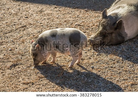 Little spotted piglet is walking and eating, Big spotted mother pig is lying, sleeping and watching on baby. Family of pigs. Animal with child on the sand. Cute piggy with pink hooves