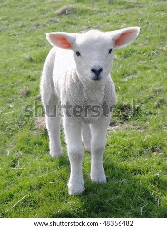 Little Spring Lamb - stock photo