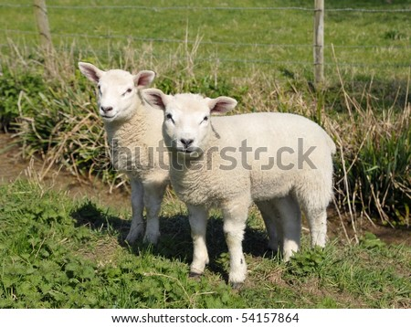 Little Spring Lambs