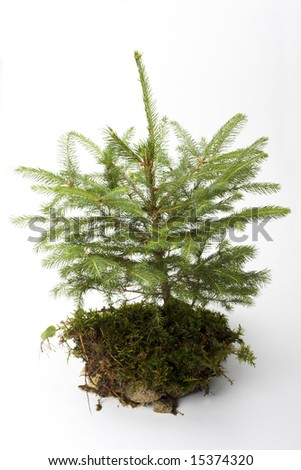 little spruce tree on white background