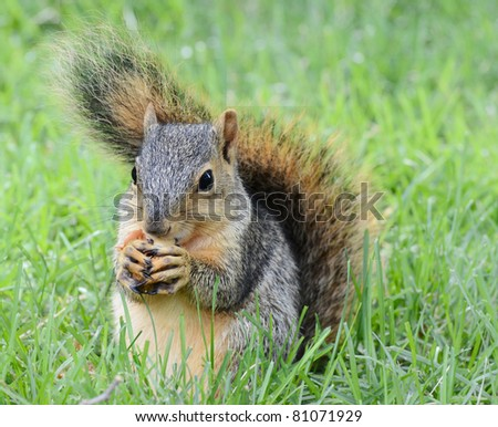 Little squirrel eating peanut, seen from the front - stock photo