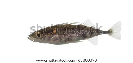 little  stickleback on white background