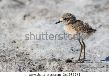Little Stint - stock photo