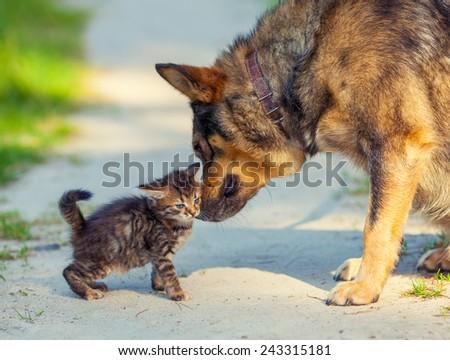 Little stray kitten rubing against bid dog - stock photo