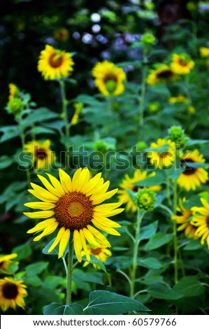 Little sunflower in the field. Design of nature. 