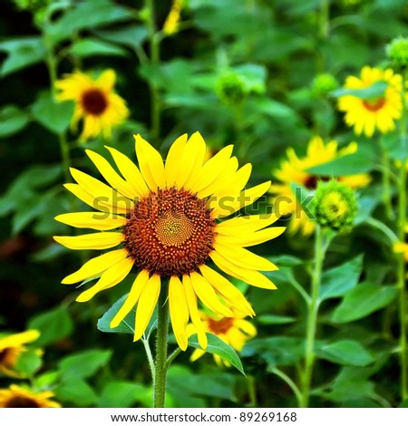 Little sunflower in the field. Design of nature. - stock photo