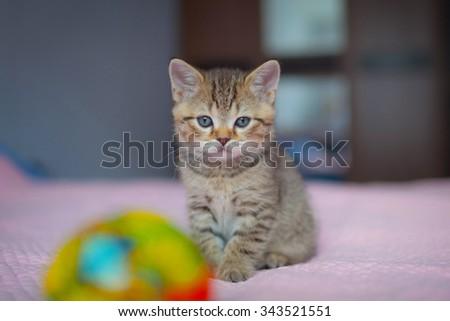 Little tabby kitten. British kitten. Sad kitten. - stock photo