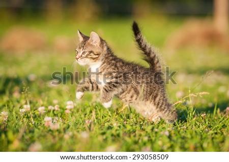 Little tabby kitten jumping outdoors - stock photo