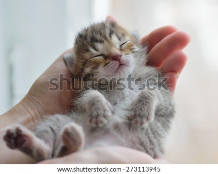 Little tabby kitten sleeps in his hands on a blurred background.