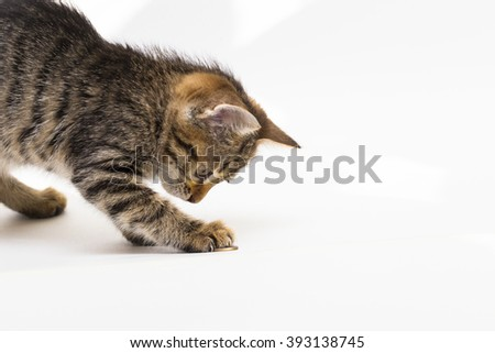 Little tabby kitten with enthusiasm plays with coins on the white background in the sun.