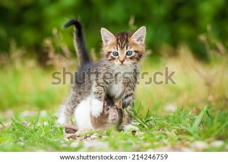 Little tabby kitten with rat outdoors - stock photo
