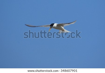 Little tern, Sterna albifrons, in flight - stock photo