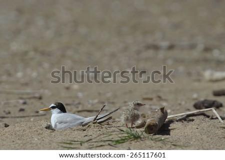 Little tern, Sternula albifrons - stock photo