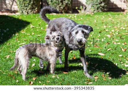 Little terrier dog snarling at big playful dog outside in backyard - stock photo
