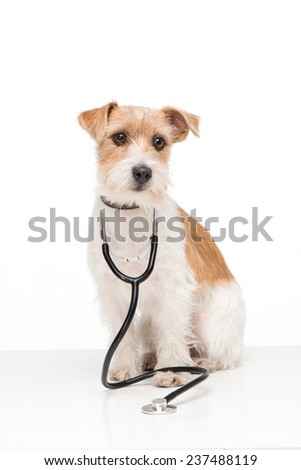 Little terrier with stethoscope