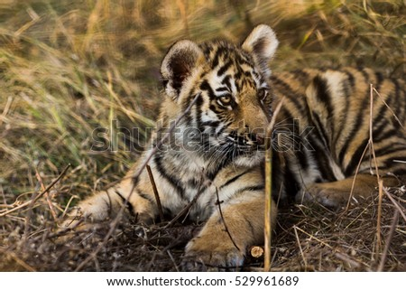 little tiger cub relax