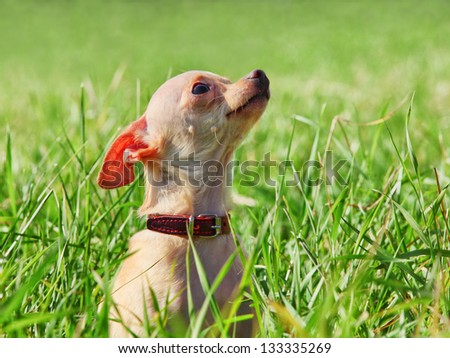 little toy terrier sit in green grass